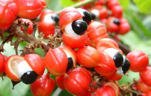 Tanaman Herbal Alami Guarana